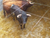 Toro de Alcurrucén para la plaza de toros de pontevedra
