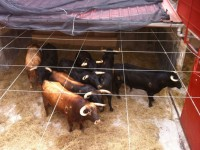 toros de Alcurrucén