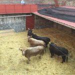 toros para feria Peregrina 2016 13 de agosto